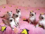 南宁哪里有正规宠物店买卖布偶猫 南宁最便宜布偶猫多少钱