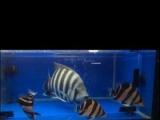 观赏鱼 888元