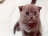 英国重骨蓝猫满月,接受预定啦!