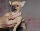 精品墨西哥吉娃娃犬,颜色齐全,保健康多只可挑选