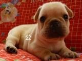 宠物店里的法国斗牛犬可以买吗 健不健康
