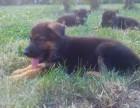 纯种德国牧羊犬 养殖场专售 先测试犬瘟 细小再抱走