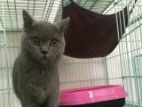 英短蓝猫弟弟,蓝猫折耳.两个月,三个月,的都有