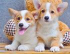 精品柯基幼犬,各色可选,疫苗齐全,可上门选狗签协议