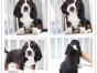 本地犬舍出售纯种比格 双血统带证书