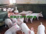 河南仔猪苗猪供应基地河南仔猪价格苗猪价格