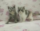 两个小母蓝猫找新家