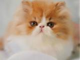 重庆永川纯种双血统加菲猫放心购买