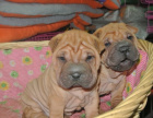 中国专业繁殖双血统沙皮犬犬舍 可以上门挑选