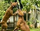 完美战神比特犬