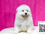 纯种萨摩耶狗狗出售
