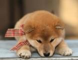 深圳在哪里有正规犬舍 铃铛犬舍出售柴犬