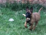 红马犬:黑马犬训育基地:常年出售建康幼犬