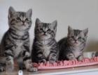广州出售美国短毛猫 虎斑猫美短加白起司猫 疫苗全