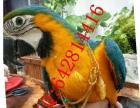 蓝黄金刚鹦鹉寻找下个真心的主人
