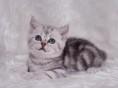 出售纯种虎斑猫/英短/美短/净梵/起司/多色可选/包纯种健康
