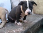自家大狗生了一窝比特犬可以上门看狗父母