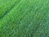 北京草坪种植基地各种月季花承接各种园林绿化工程