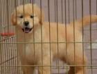 常年出售金毛犬,狗场直销,包纯种,包健康,可送货上门