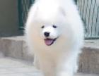 萨摩耶犬纯种家养繁殖萨摩耶犬出售精品家养活体宠物狗