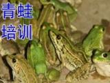 泰通青蛙养殖牛蛙养殖种蛙养殖