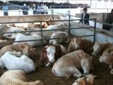 農村小規模養牛20頭
