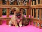 重庆出售柴犬网红同款日系柴犬价格便宜直销保健康协议