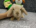 小垂耳兔盖脸猫猫兔出售中