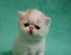 出售纯种小加菲猫净梵纹正八字脸幼猫血统纯健康