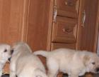 家养一窝纯种忠实聪明拉布拉多导盲犬转让包健康