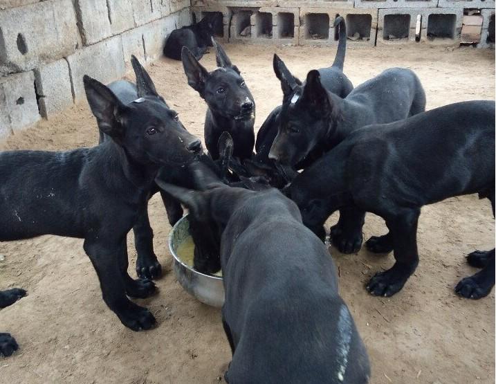 精品卡斯罗犬 全国出售 专业繁殖 纯种健康 卡斯罗幼犬品相