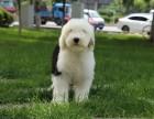 芜湖纯种古牧怎么卖的 芜湖古代牧羊犬照片 芜湖古牧出售