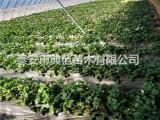 桃熏草莓苗多少钱一株 桃熏草莓苗品种介绍