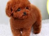 南宁哪有泰迪犬卖 南宁泰迪犬价格 南宁泰迪犬多少钱