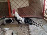 黃南家繁殖出售各婆羅門雞 繡球雞 帽子雞