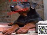 三个月的小苏联红犬多少钱纯种苏联红犬价格图片