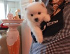 繁殖基地出售纯种 银狐犬 批发零售均可包健康