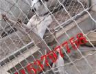 韶关哪里有卖格力犬的韶关纯种惠比特犬多少钱一只货到付款