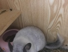 家养健康银斑龙猫