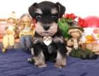 汕头哪里有卖雪纳瑞 潮南哪里有卖雪纳瑞幼犬