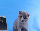 出售纯种折耳猫 温顺粘人健康保障 欢迎上门挑选