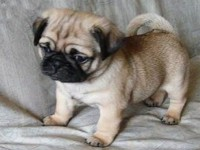苏州巴哥犬一本地养殖狗场一直销各种世界名犬 常年售卖