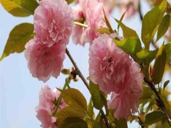 批发樱花树 供应3-20公分樱花树 樱花基地