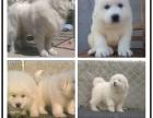 自己家养的双血统大白熊犬 颜值高 忍痛出售
