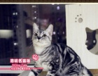 漂亮可爱的美短银虎斑猫小帅哥--《思晴名猫坊》
