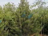 白皮松价格 山西1米2米3米4米占地白皮松价格