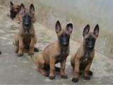 二个月的马犬低价出售 马犬价格