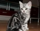 纯种虎斑猫健康英短美短净梵起司幼崽/多色可选/包纯种健康