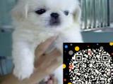 基地出售高品质纯血统京巴幼犬疫苗做齐保纯种健康