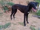 精品格力犬2~4个月纯血幼犬出售